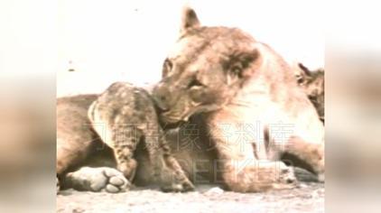 早年间赵忠祥老师为你解说非洲狮王怎样找对象「高清版」