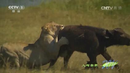 人与自然:实拍狮子围攻野牛,屡败屡战,几次进攻竟都被野牛击退