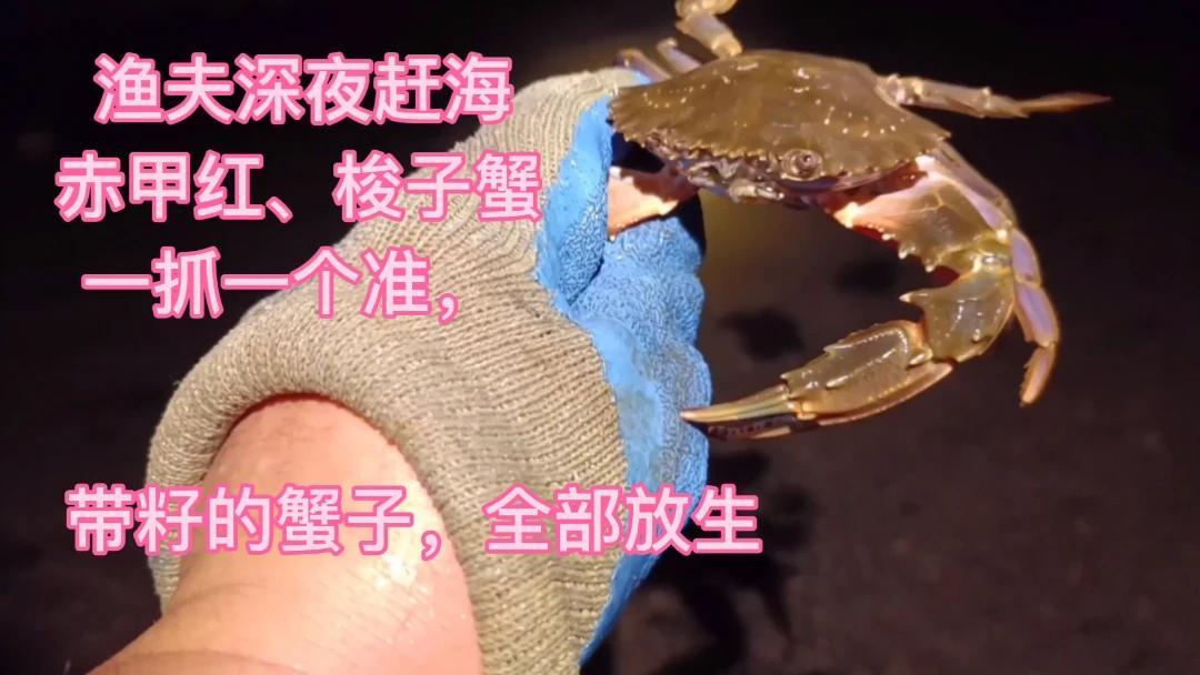 渔夫深夜赶海,赤甲红、梭子蟹一抓一个准,带籽的全部放生了