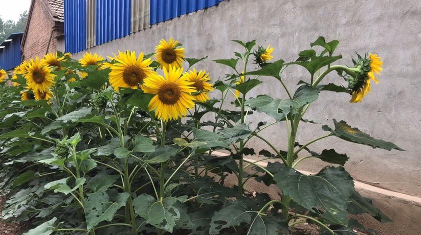 门口的向日葵很可爱,家乡很美丽,在农村生活很知足