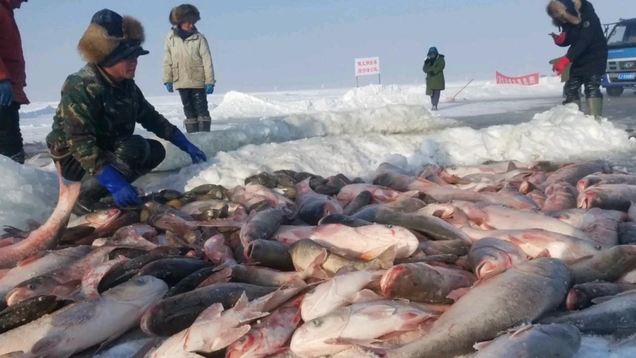 八匹马拉动千米渔网,查干湖冬捕大揭秘,独家披露全过程