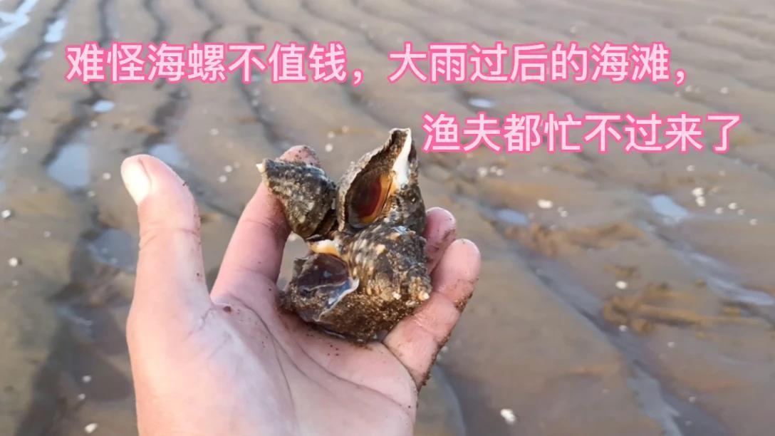 难怪海螺不值钱,大雨过后的海滩,渔夫都忙不过来