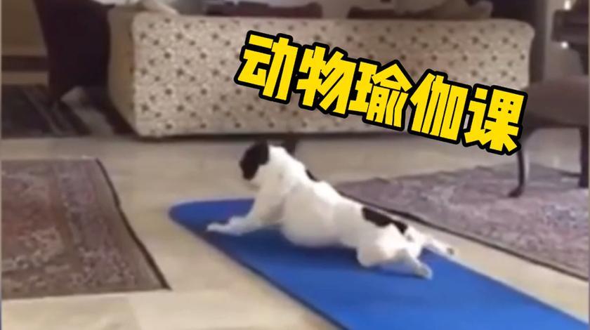 动物上瑜伽课,很有节奏感,比我家的笨狗强太多