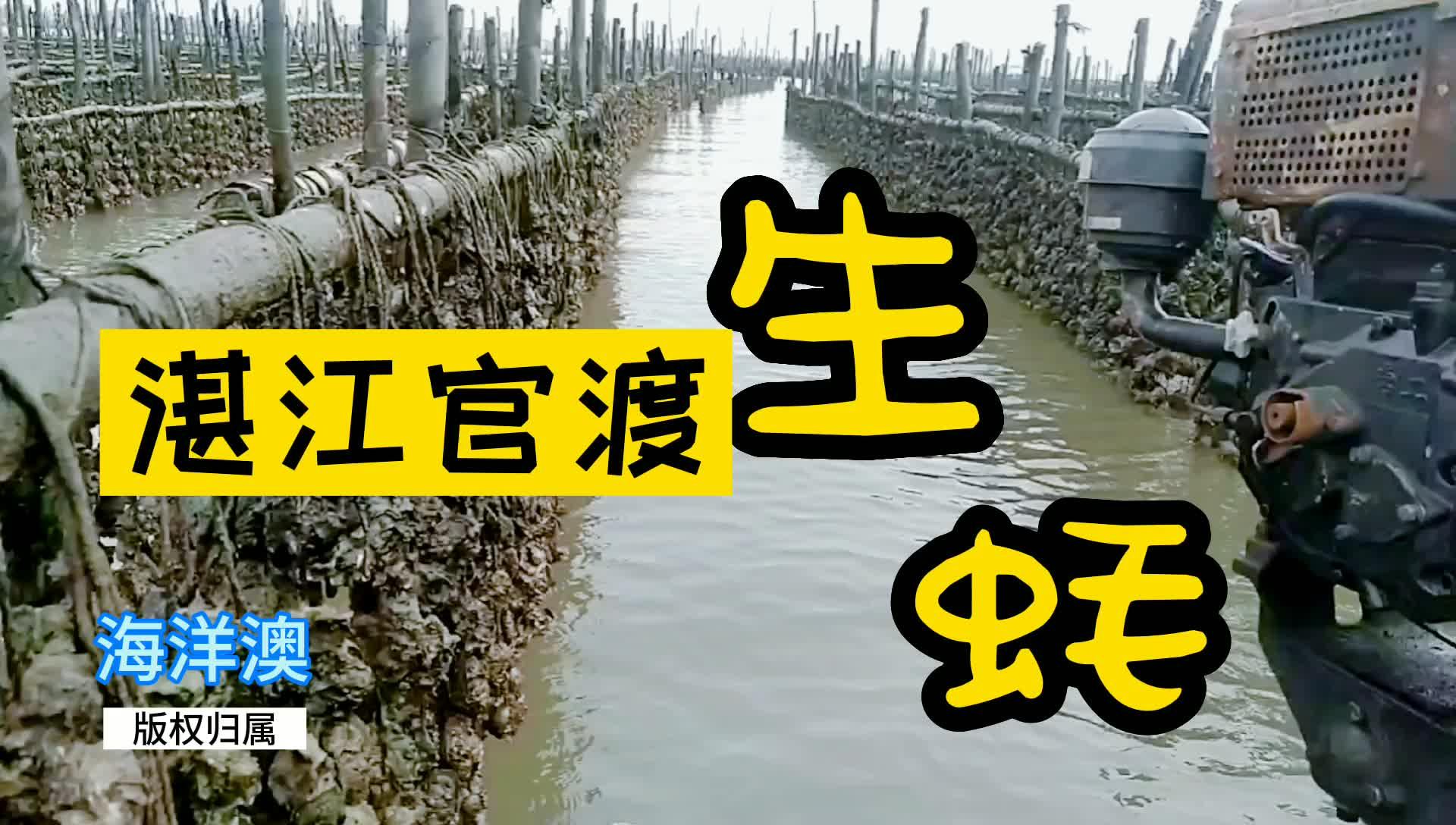 湛江官渡生蚝海里采摘回来加工做法复杂料理,再清水洗干净打包装