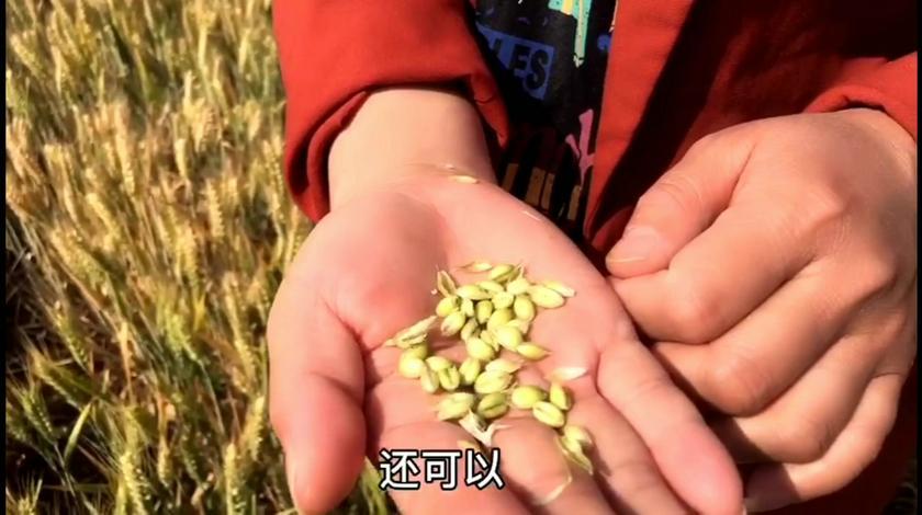 大河南的麦子快熟啦,看看今年的产量和价格怎么样?
