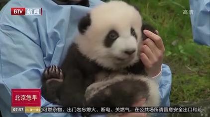 """全球""""最可爱大熊猫宝宝""""比赛落幕!冠军真的萌爆了"""
