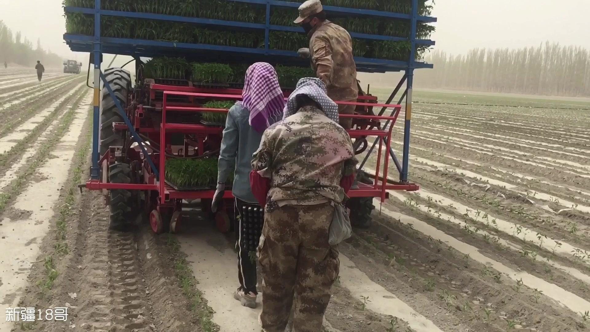 新疆农民引进辣椒移栽机,栽苗成活率高,还提高生产效益。