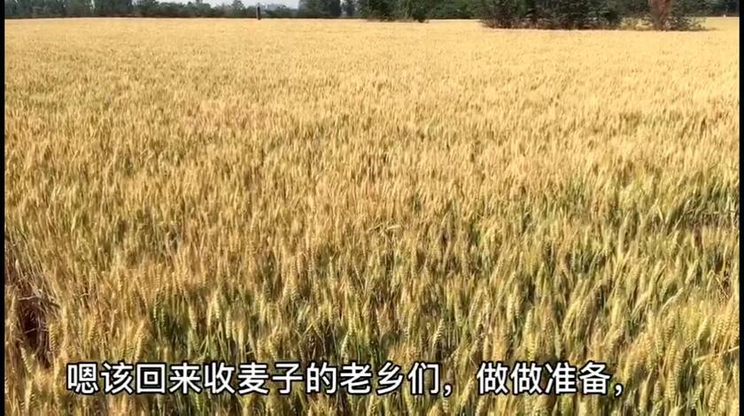 今年的小麦快成熟了,看看价格有你那边高吗,现在多少钱一斤呢